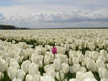 Tulipe_r